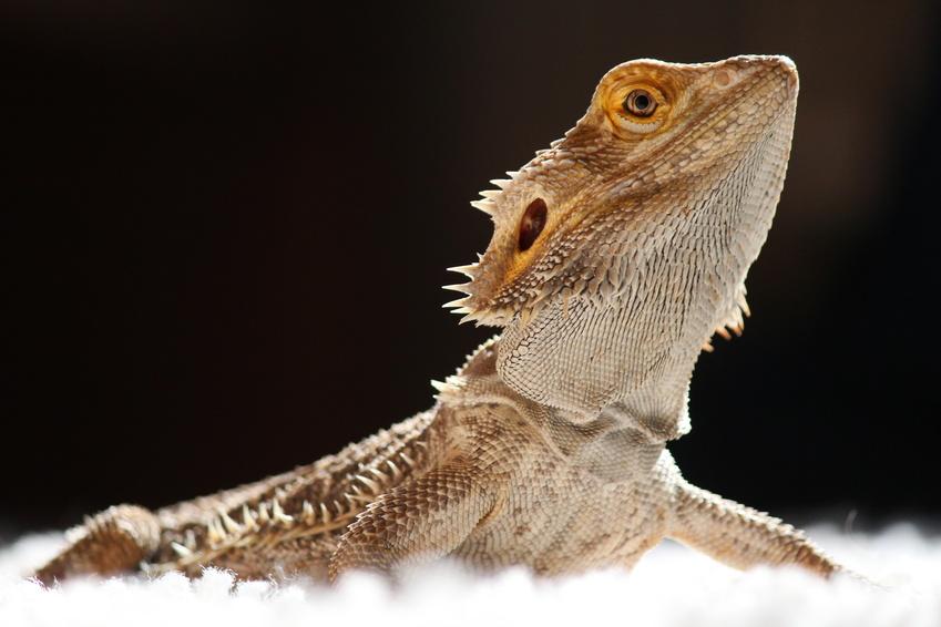 Die Bartagame gehört zu den beliebtesten Reptilien im Terrarium