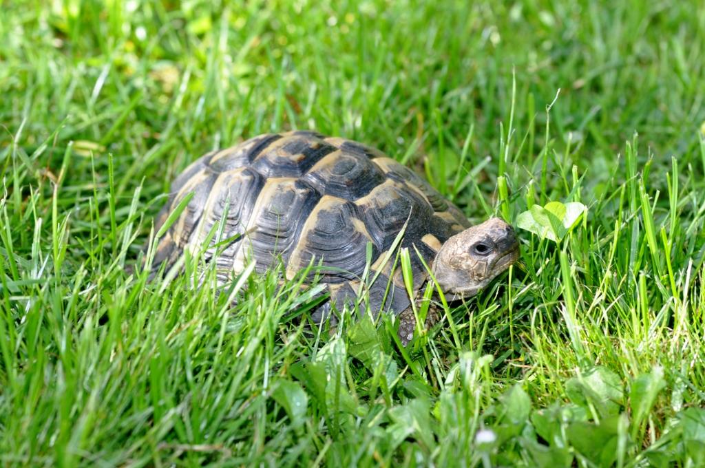 Für die reine Terrarienhaltung sind Griechische Landschildkröten eher ungeeignet