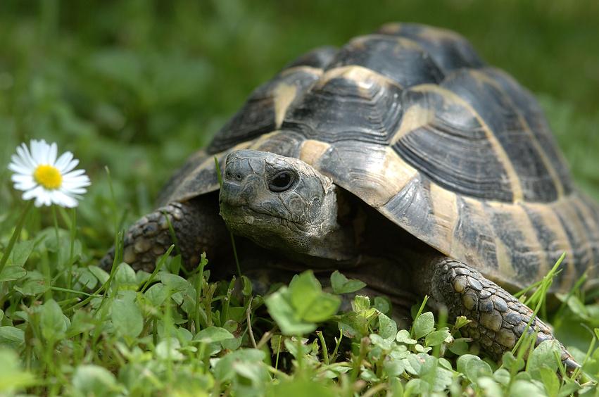 Griechische Landschildkröten ernähren sich rein pflanzlich - aber frisch muss es sein