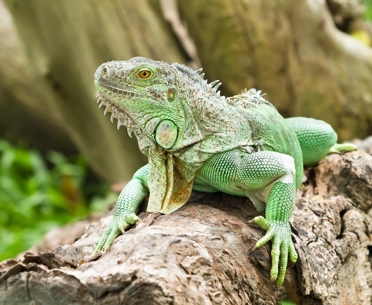 Er braucht viel Platz - der Grüne Leguan
