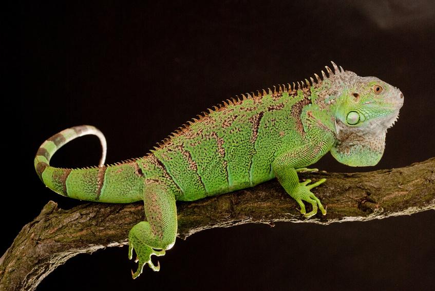 Kann auch völlig anders: Grüne Leguane sind nicht immer friedlich