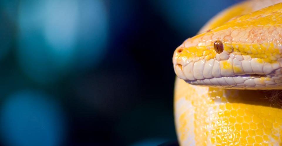 Ein faszinierende Schlange - der Tigerpython