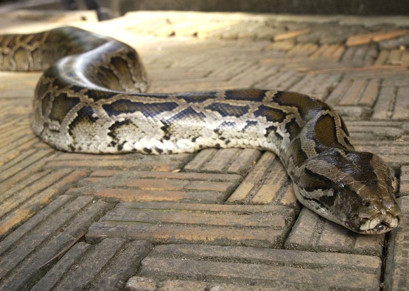 Ein Tigerpython - gewiss eine der schönsten Riesenschlangen
